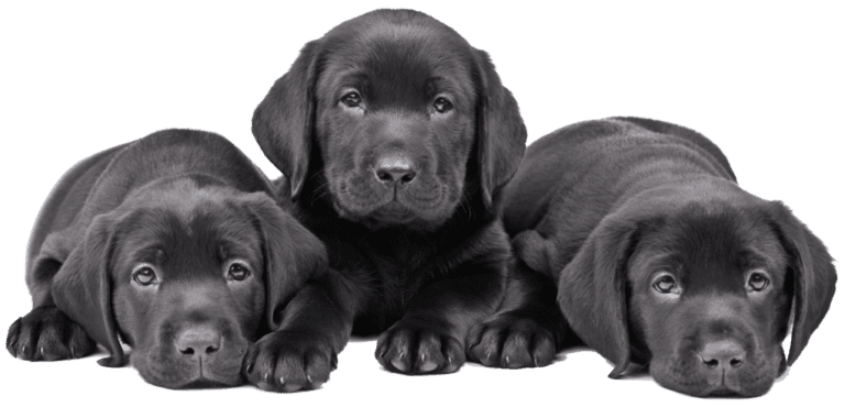 3-black-lab-puppies