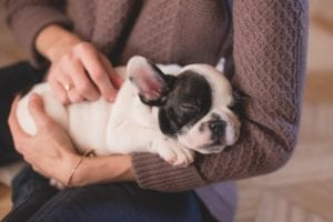 French-bulldog-puppy-in-arms