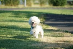 Bichon-Frise-Puppy